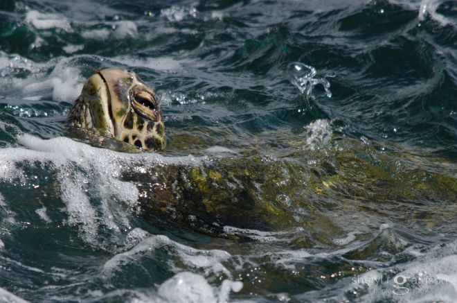 green turtle with red algae