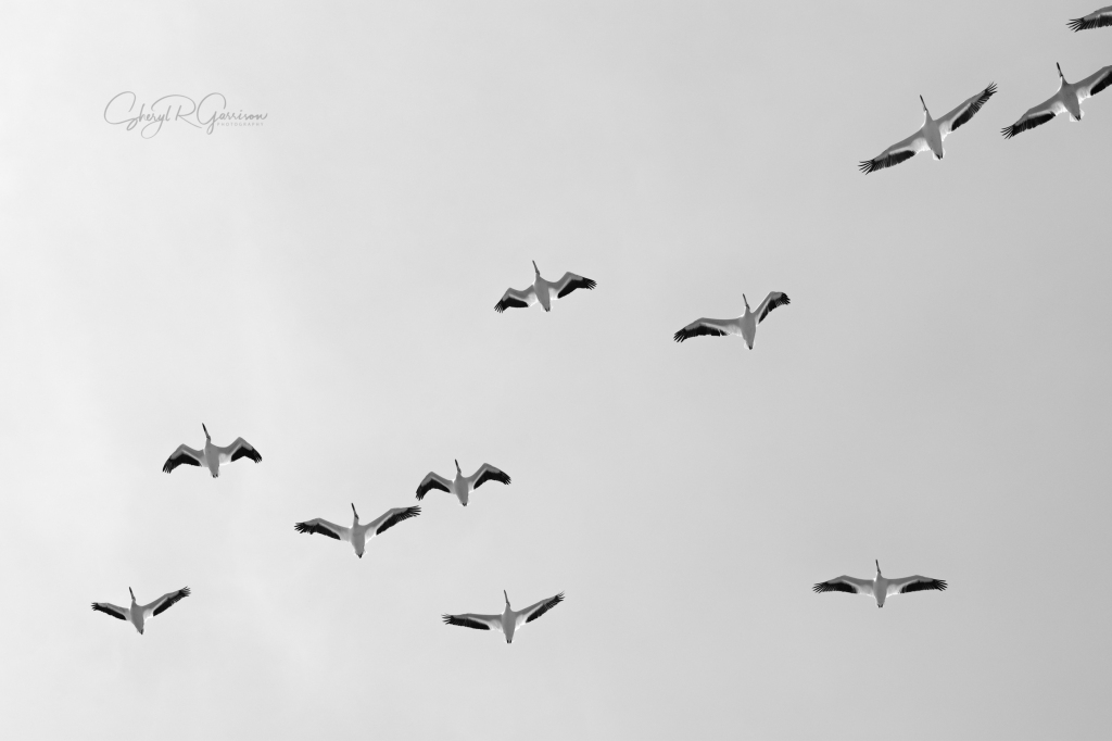 soaring white pelicans black and white