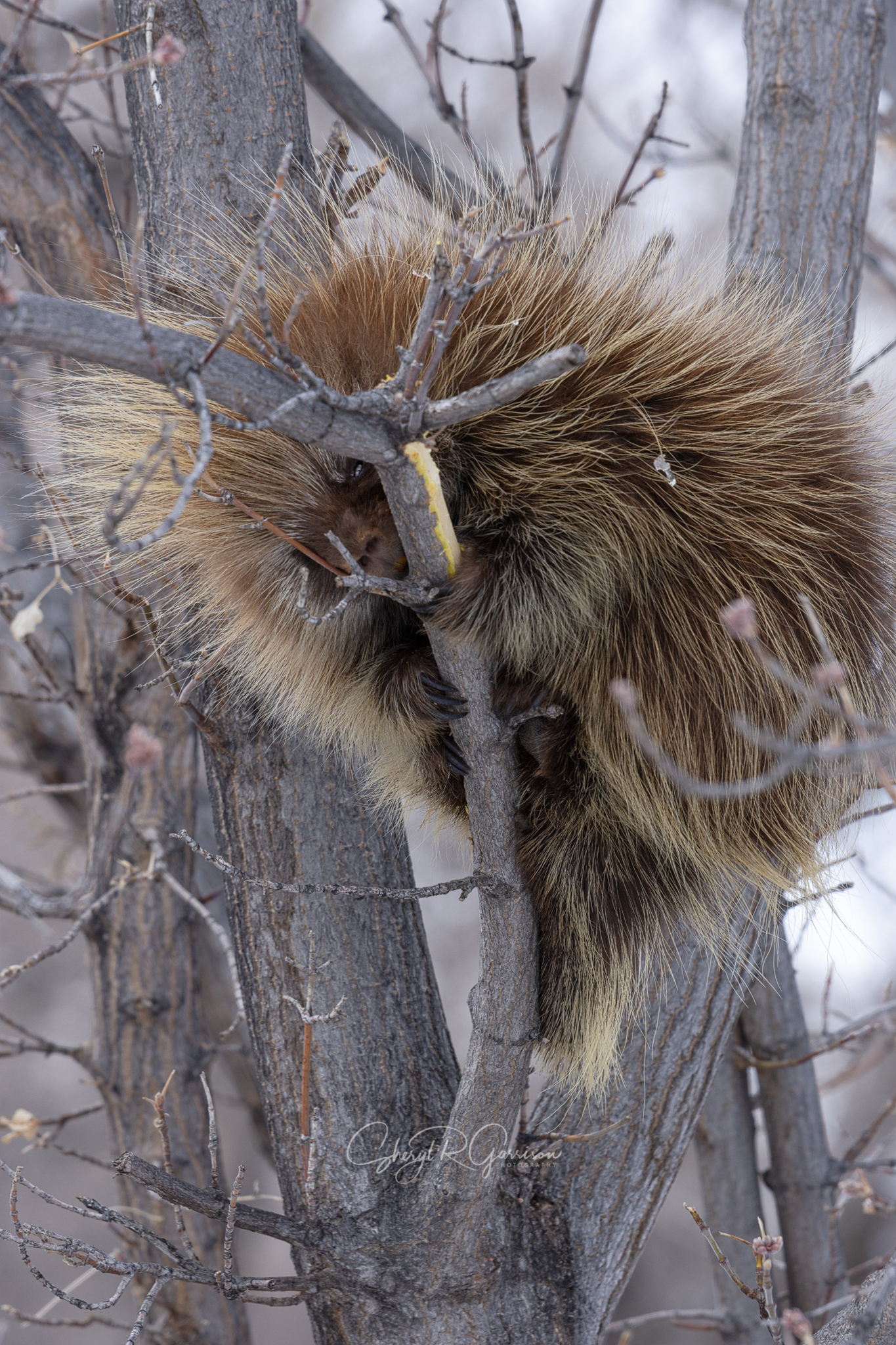 north american porcupine in tree