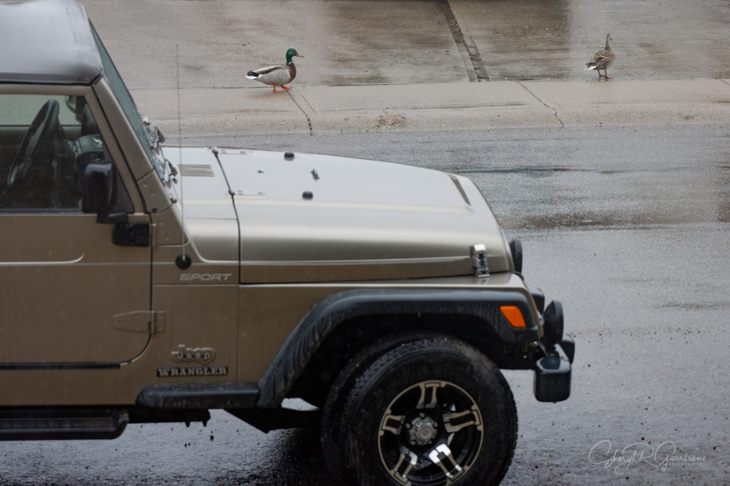 jeep with mallards walking down the sidewalk
