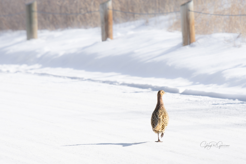 pheasant walking away on a snowy road